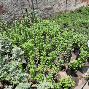 Plantines Aromáticas